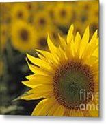 Close-up Of Sunflowers In A Field Metal Print