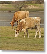 Cow Outdoors Metal Print