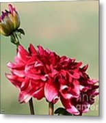 Dahlia Named Caproz Jerry Garcia Metal Print