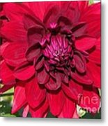 Dahlia Named Nuit D'ete Metal Print