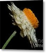 Daisy Flower Metal Print