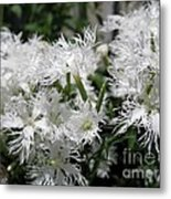 Dianthus Superbus - White Metal Print