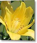 Double Asiatic Lily Named Fata Morgana Metal Print