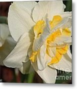 Double Daffodil Named White Lion Metal Print