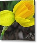 Dwarf Cyclamineus Daffodil Named Jet Fire Metal Print