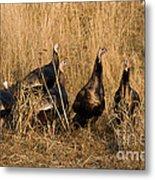 Eastern Wild Turkeys Metal Print