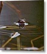 European Common Brown Frog Metal Print