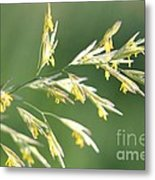 Flowering Brome Grass Metal Print