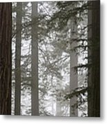 Foggy Coast Redwood Forest Metal Print