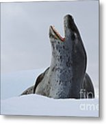 Leopard Seal Metal Print