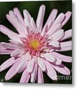 Marguerite Daisy Named Double Pink Metal Print