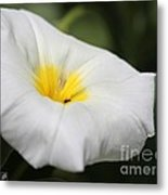 Morning Glory Named White Ensign Metal Print