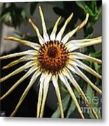 Osteospermum Named African Moon Metal Print