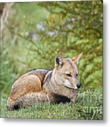 Patagonian Red Fox Metal Print