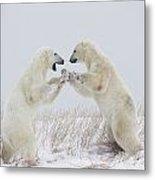 Polar Bears Play Fighting Along The Metal Print