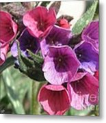 Pulmonaria Named Raspberry Splash Metal Print