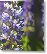 Purple Lupine Flowers Metal Print