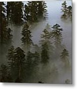 Redwood Creek Overlook With Giant Redwoods Sticking Out Above Lo Metal Print