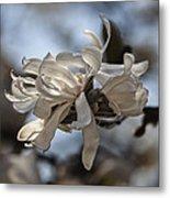 Spring April 2013 Magnolia Blossoms Metal Print