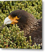 Striated Caracara Metal Print