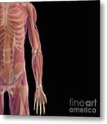 The Musculoskeletal System Metal Print