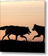 Timber Wolf Canis Lupus Metal Print