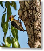 Yellow-fronted Woodpecker  Melanerpes Metal Print