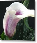 Zantedeschia Named Picasso Metal Print