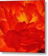Begonia Named Nonstop Apricot Metal Print