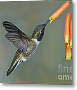 Black-chinned Hummingbird Metal Print