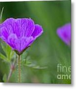 Bloody Geranium Wild Flower Metal Print