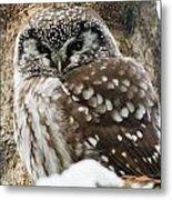 Boreal Owl Pictures Metal Print
