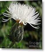 Centaurea Named The Bride Metal Print