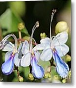 Clerodendrum Ugandense Or Blue Butterfly Bush Metal Print