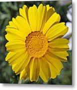 Crown Daisy Flower Metal Print