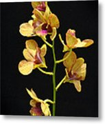 Dendrobium Orchid Metal Print