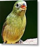 Female Painted Bunting Metal Print