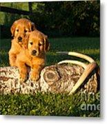 Golden Retriever Puppies Metal Print