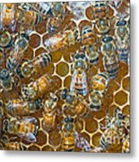 Honey Bees In Hive Metal Print