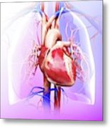 Human Heart And Lungs Metal Print