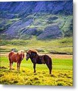 Icelandic Ponies Metal Print