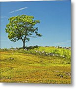Lone Tree With Blue Sky In Blueberry Field Maine Metal Print