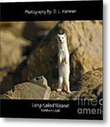 Long-tailed Weasel Metal Print