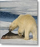 Polar Bear With Fresh Kill Metal Print