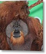 Portrait Of A Large Male Orangutan Metal Print