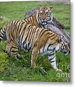 Siberian Tigers, China Metal Print