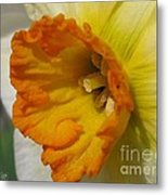 Small-cupped Daffodil Named Barrett Browning Metal Print