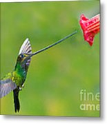 Sword-billed Hummingbird Metal Print