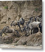 Wildebeests Crossing Mara River, Kenya Metal Print