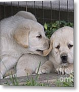 Yellow Labrador Retriever Puppies Metal Print by Linda Freshwaters Arndt
